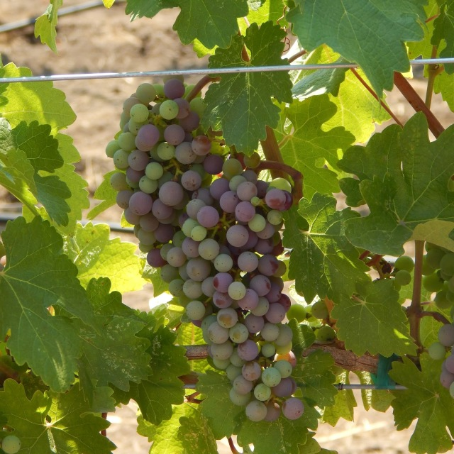 Grapes, Winemaking, Wine Country, Odette Estate, Fermentation, Summer, Harvest Season